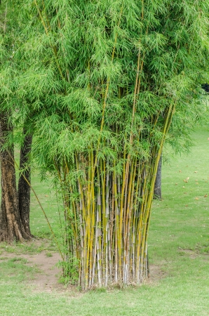 Bamboo in park, Thailand. photo