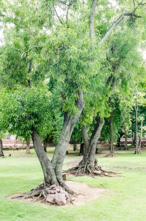 The Trees in Phimai historical Park, Thailand. photo