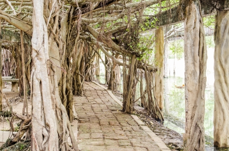 Walk way under banyan tree at Sai-Ngarm public park, Thailand. photo