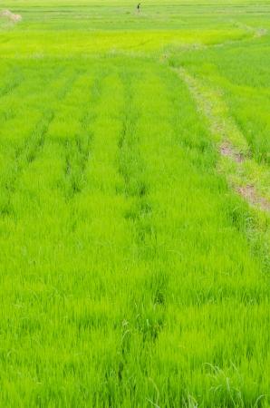 Green rice field, Thailand. photo