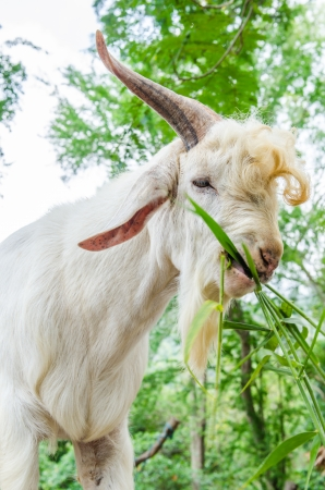 White goat, Thailand Stock Photo - 22474267