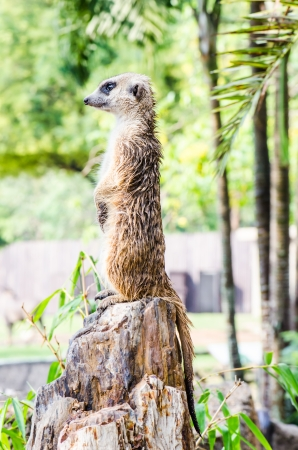 Meerkat stehend, Thailand photo