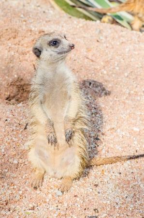Meerkat standing, Thailand photo