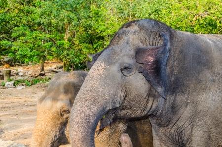 asiatic: Portrait of Asiatic Elephant, Thailand.