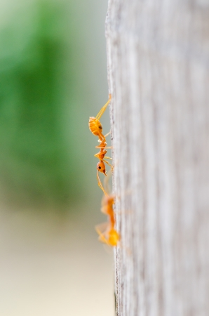 Ant in nature, Thailand photo