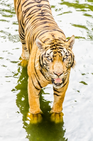 Tiger in the water, Thailand photo