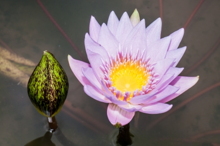 Close up inside of violet lotus flower, Thailand photo