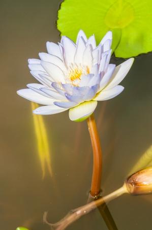 Close up inside of violet lotus flower, Thailand photo