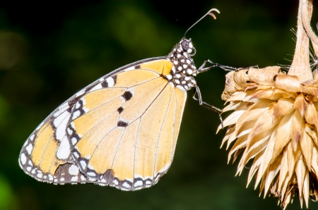 Beautiful butterfly on dry flower in public park, Thailand photo