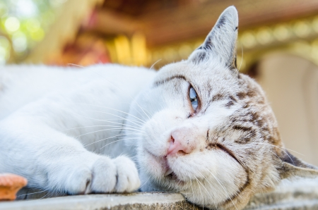 Portrait of Thai white cat, Thailand photo