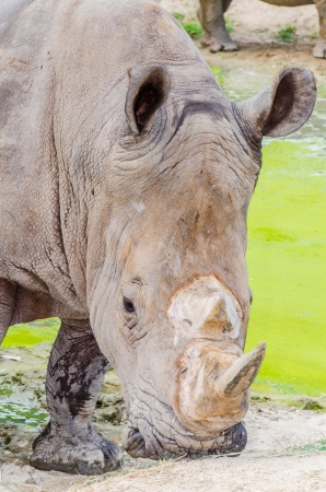 Portrait of white rhinoceros, Thailand photo