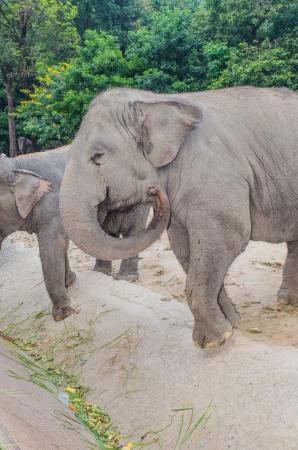 asiatic: Asiatic elephant, Thailand