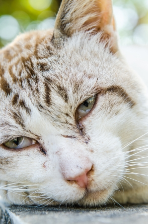 Face of Thai white cat, Thailand Stock Photo - 23308807
