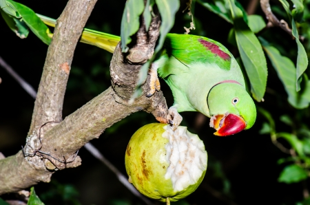 Green Parrot on Branch, Thailand Stock Photo