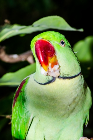 Green Parrot on Branch, Thailand photo
