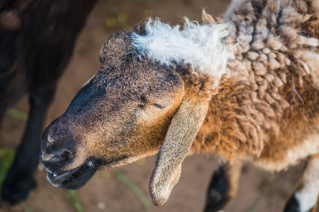 Head Shot of Brown Domestic Goat photo