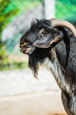 Head Shot of Black Domestic Goat photo
