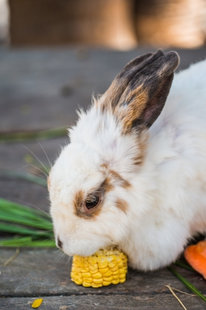 Head shot of white rabbit eating corn photo