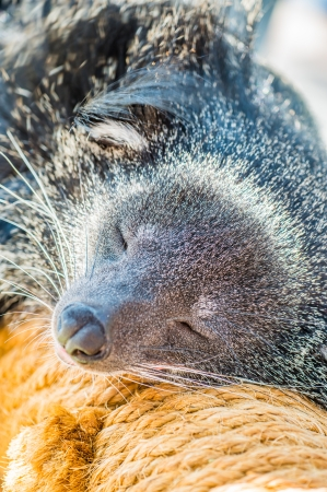 bearcat: Head shot of binturong, Thailand