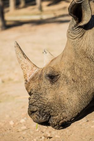Head shot of Rhinoceros, Thailand