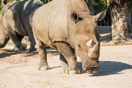 Portrait of Rhinoceros, Thailand