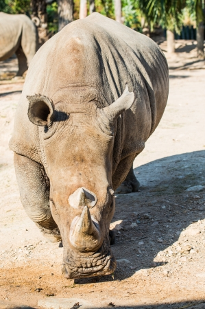Portrait of Rhinoceros, Thailand photo