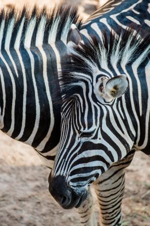 Portrait of Zebras, Thailand