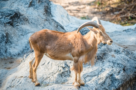 Portrait of Barbary Sheep, Thailand