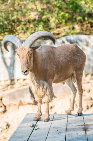 Portrait of Barbary Sheep, Thailand photo