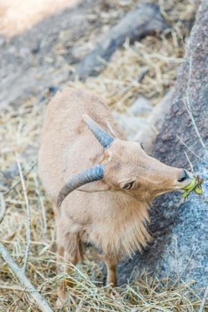 Portrait of Barbary Sheep, Thailand photo