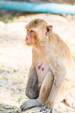 Portrait of Thai monkey, Thailand photo