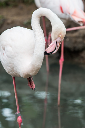 Portrait of Greater Flamingo photo