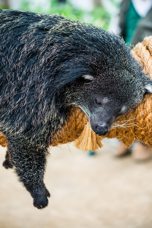 bearcat: Portrait of binturong, Thailand