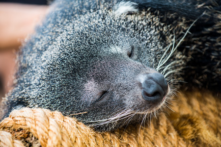 bearcat: Close up of binturong, Thailand Stock Photo