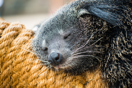 bearcat: Close up of binturong