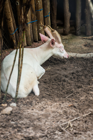 Portrait of Albino Common Barking Deer, Thailand photo
