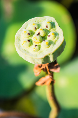 Young seed of lotus in garden photo
