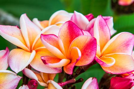 Close up of beautiful pink plumeria on tree, Thailand photo