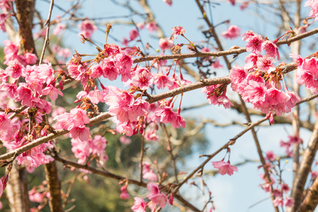 Close Up of Cherry Blossum en la provincia de Chiang Mai, Tailandia photo