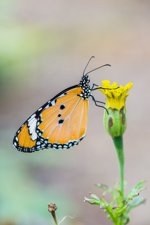 Beautiful butterfly on flower, Thailand photo