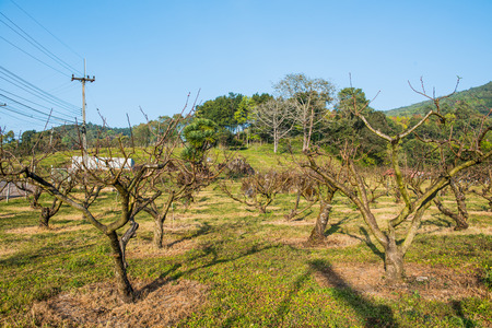 Peach trees in agricultural garden, Thailand photo