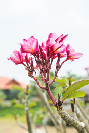 Close up of beautiful pink plumeria with white background, Thailand photo