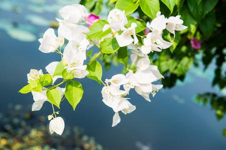 bougainvillea flowers: Bougainvillea flowers in garden, Thailand Stock Photo