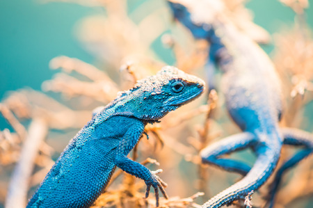 Close Up of Banana Split Mountain Lizard, Thailand photo
