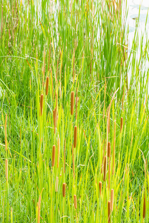 Typha angustifolia in nature, Thailand photo