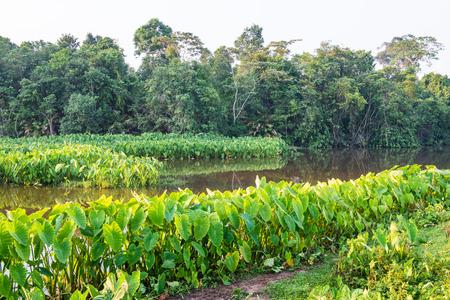 national plant: Caladium plant with lake in khao Yai national park, Thailand Stock Photo