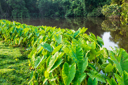 national plant: Caladium plant with river in national park, Thailand Stock Photo