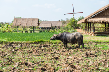 Black buffalo in rice filed, Thailand photo