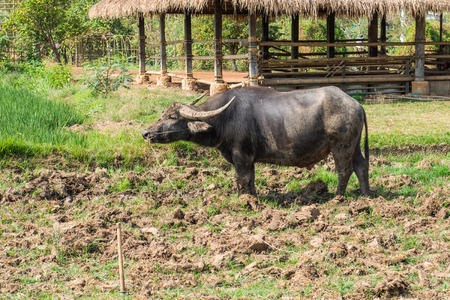 Black buffalo in rice filed, Thailand photo