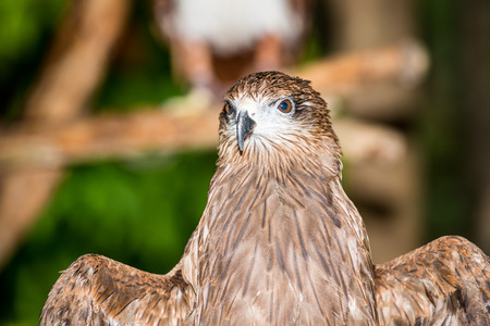 black kite: Portrait of Black Kite, Thailand Stock Photo
